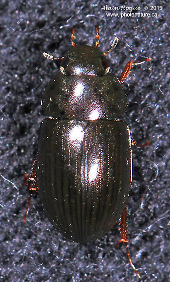 Hydrophiloidea
