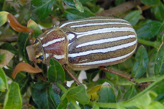 Polyphylla decemlineata? - Polyphylla decemlineata