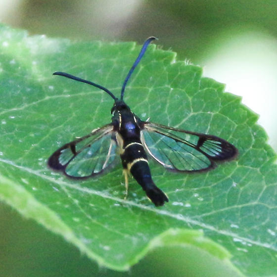unknown clearwing moth  - Synanthedon scitula
