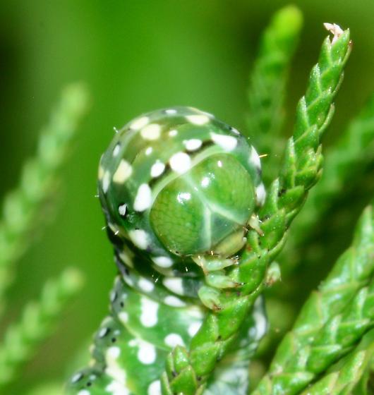 Caterpillar - Lithophane lemmeri