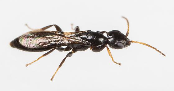 Wasp - Goniozus