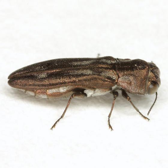 Agrilus addendus Crotch - Agrilus addendus