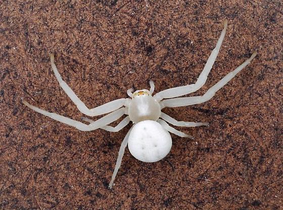 Flower Spider - Misumena vatia - female