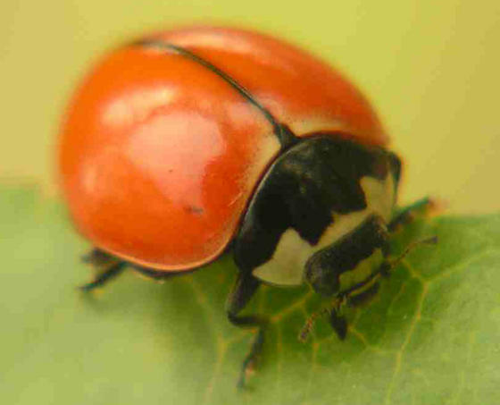 Coccinella novemnotata, spotless form, from San Joaquin Valley - Coccinella novemnotata