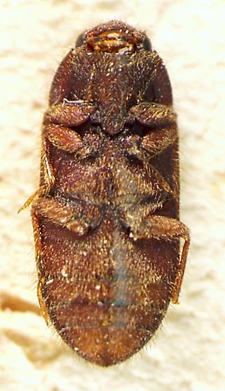 Dryops arizonensis
