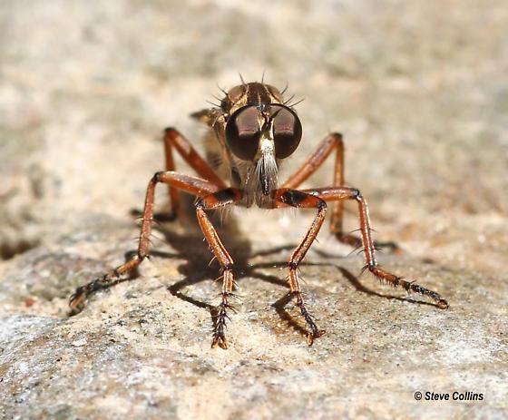 Machimus antimachus - female