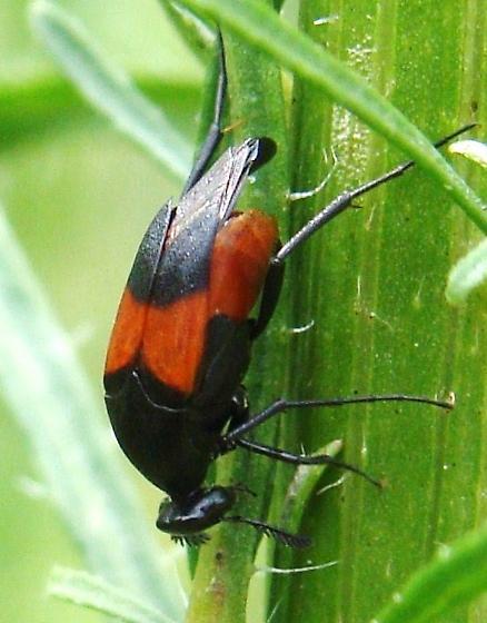 Wedge-shaped Beetle - Macrosiagon cruenta - female