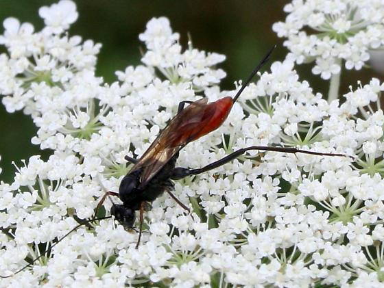 Wasp ID Request - Cryptus albitarsis