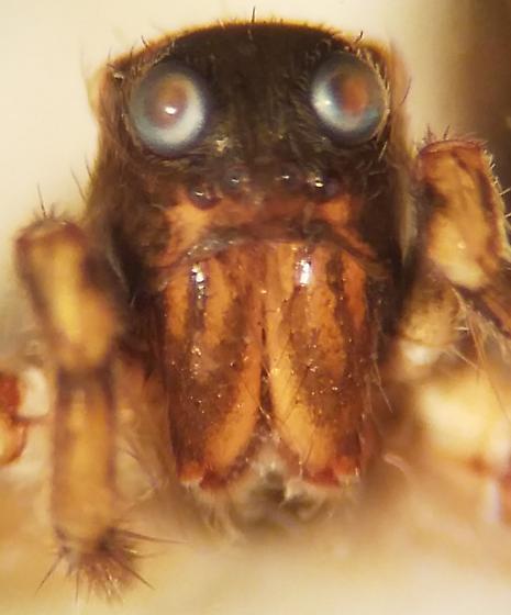Thinlegged Wolf Spider - Pardosa yavapa - female