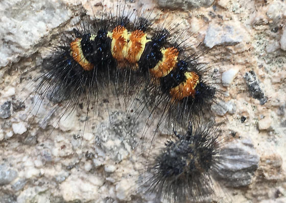 caterpillar092118SF - Dysschema howardi