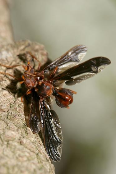 Pyrgotid Flies, mating - Pyrgota undata - male - female
