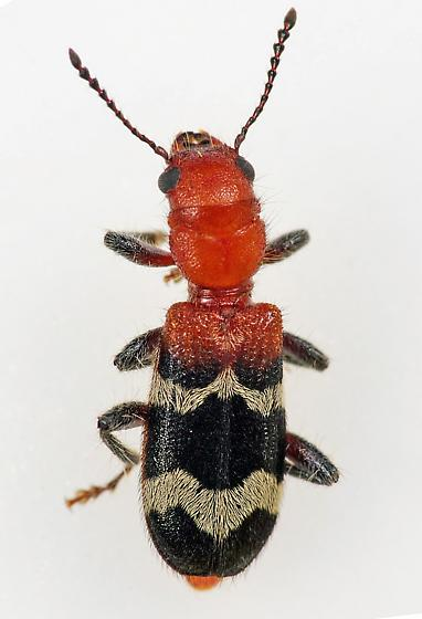 Checkered Beetle
