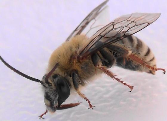 Mr. Squash Bee #3 of 3 - Peponapis pruinosa - male