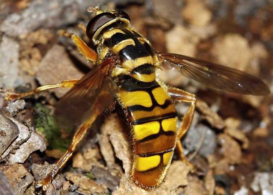 fly (Syrphidae) - Milesia virginiensis
