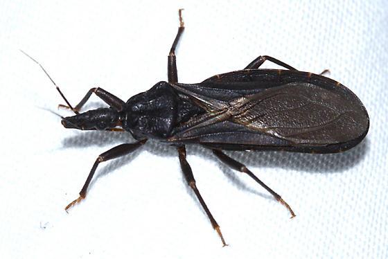 Western Conenose - Triatoma protracta - male