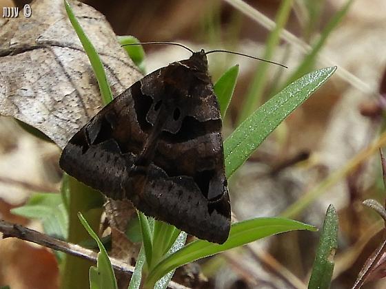 please help ID this moth - Euclidia ardita