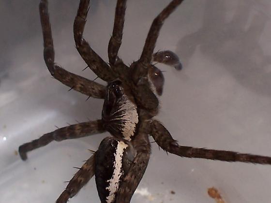 Dolomedes vittatus - male