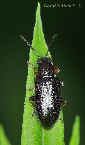 Coleoptera - Orsodacne atra