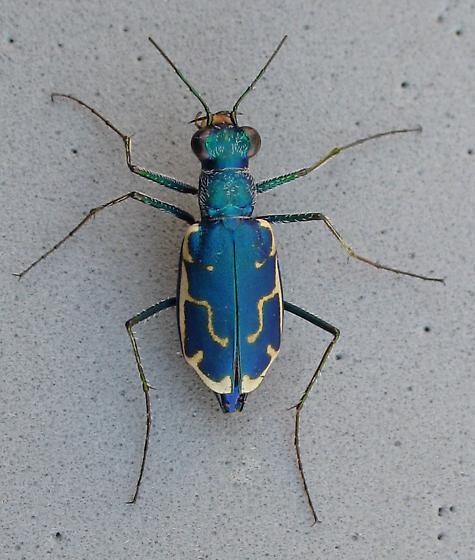 Blue beauty - Ellipsoptera marutha