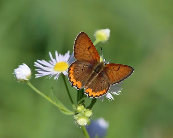Bronze Copper - Lycaena hyllus - male