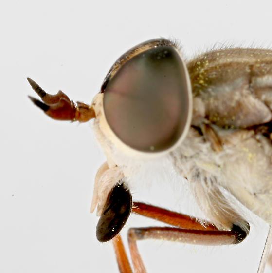 BG723 C7702 - Hamatabanus exilipalpis - female