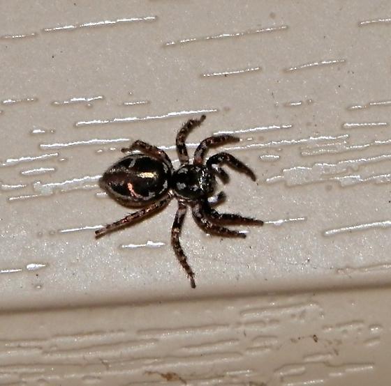 Georgia jumping spider - Anasaitis canosa