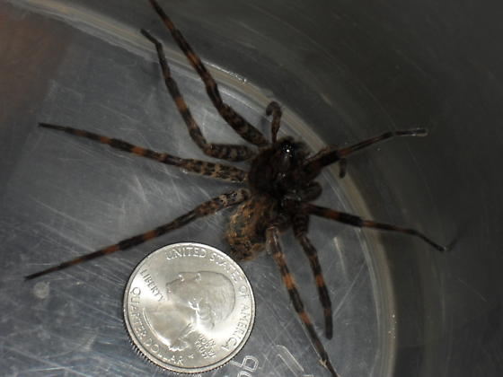 Unknown spider - Dolomedes