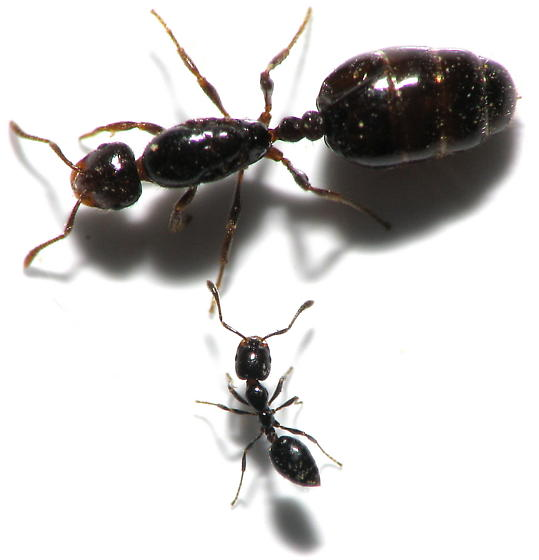 little black ant queen wwwpixsharkcom images