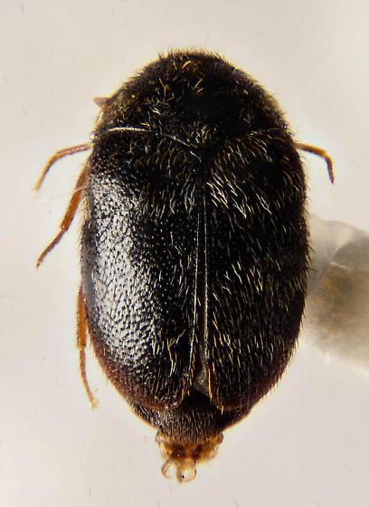 LRB - Trogoderma glabrum - male