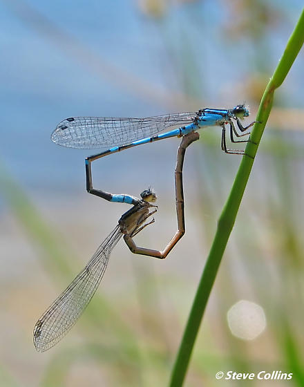 Pine Barrens Bluet - Enallagma recurvatum - male - female
