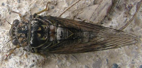 early cicada - Okanagana canadensis