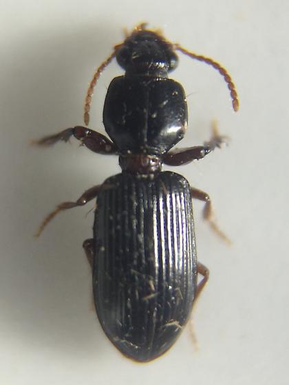Carabid - Clivina acuducta