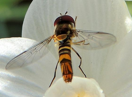 Unknown syrphid - Allograpta obliqua