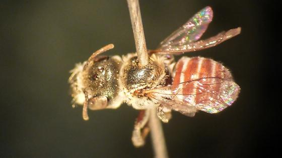 Ashmeadiella - Ashmeadiella xenomastax - female