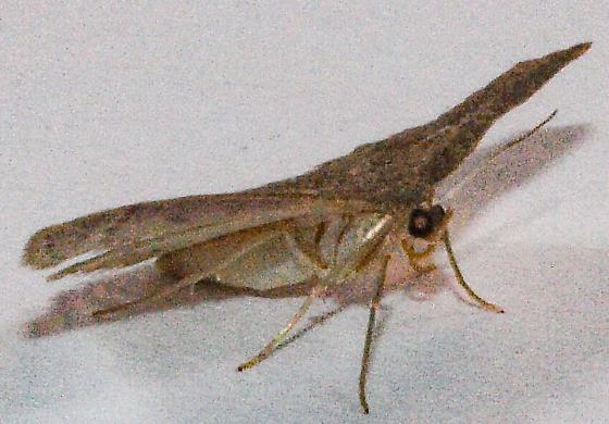 Moth to porch light  - Pleuroprucha insulsaria