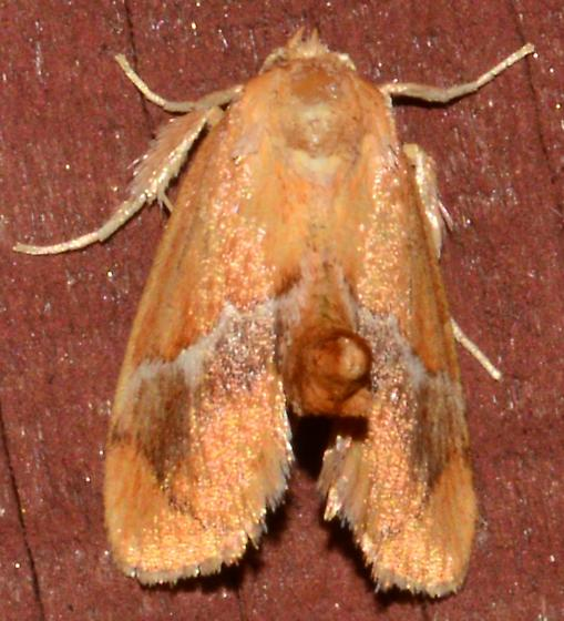 Orange raised abdomen moth - Lithacodes fasciola