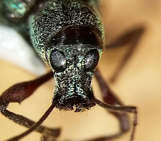 Polydrusus? - Cyrtepistomus castaneus