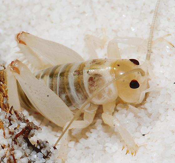 White Sands Camel Cricket - Ammobaenites phrixocnemoides arenicolus - Ammobaenetes arenicolus
