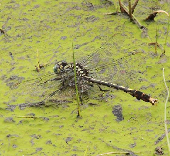 Unknown Clubtail - Arigomphus villosipes