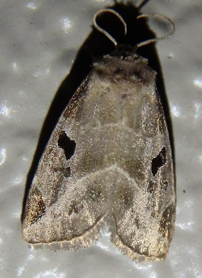 Moth - Plagiomimicus pityochromus