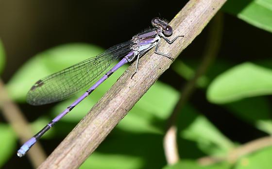 damselfly082519-5 - Argia fumipennis