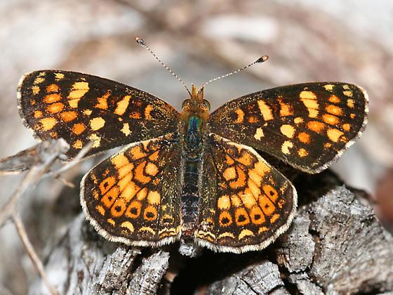 Field Crescent - Phyciodes pulchella - male