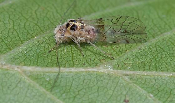 Winged Aphid perhaps?  - Teliapsocus conterminus