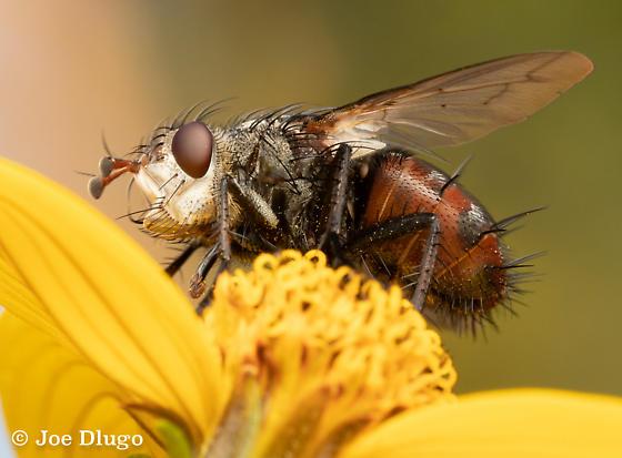 Red Fly - Peleteria