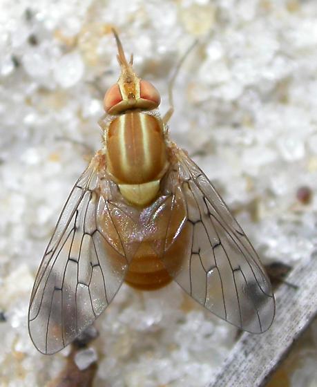Poecilognathus unimaculatus - female