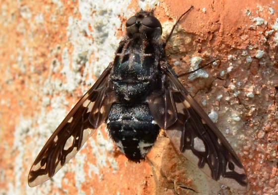 Tiger Bee Fly? - Xenox tigrinus