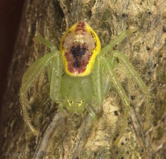 Pretty green, red, and yellow spider - Diaea livens