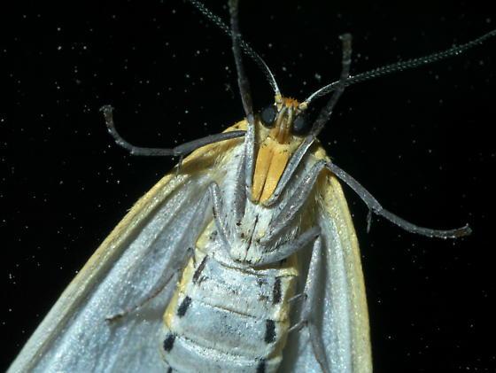 White moth with yellow border - Cycnia tenera