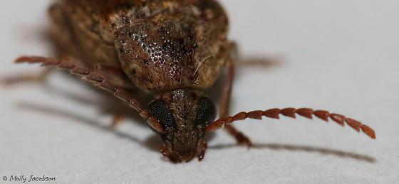 locust bean weevil - Amblycerus robiniae