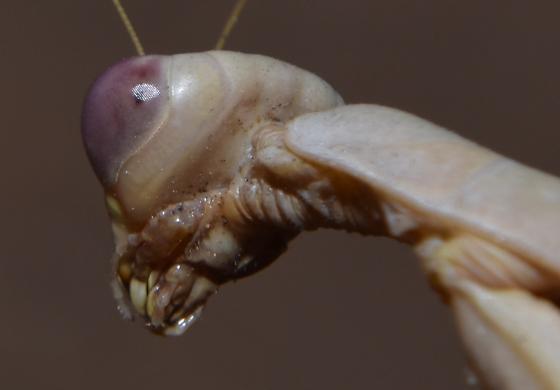 Praying Mantis - Iris oratoria - female